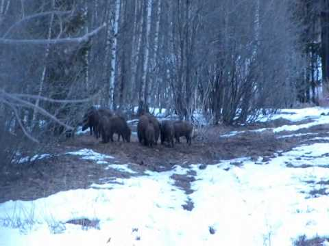 Wild boars dinner in Latvia