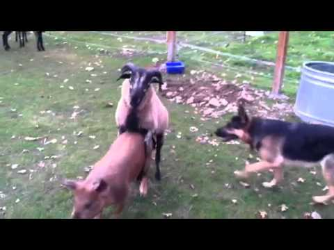 German Shepherd Blackbelly sheep and pigs Oh My