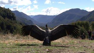 Condor Sendo Solto Voar na Natureza | Piano Música Instrumental | Linda Ave Asas