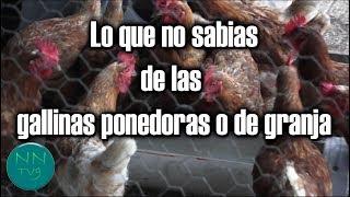 Lo que no sabias de las gallinas ponedoras o de granja