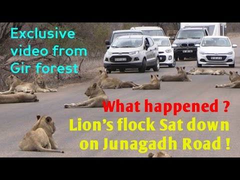 क्या हुवा ? बब्बर शेर का झुंड आ गया सड़क पर ! । What happened ? Lion's flock Sat down on Road !