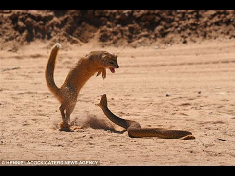 как мангуст ловит змей