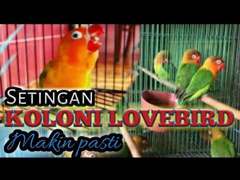 Khasiat dan Cara Seting lovebird dgn koloni l Coba Cermati & Fahami Apa Yang Lovebird Anda Inginkan