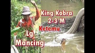 Download Lagi mancing ikan, malah ketemu si Raja ular alias king kobra