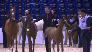 Dubai International Arabian Horse Championship 2016 -Day2