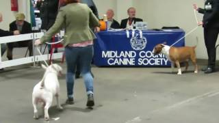 English Bull Terriers at Midland Counties ch show 2016 Judge Keith Goodwin Open Class