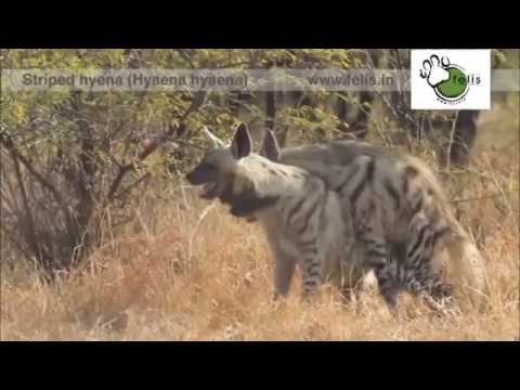 Nocturnal species caught mating: Striped Hyena mating