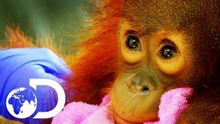 Peanut: The Adorable 15 Month Old Orangutan Baby   Meet The Orangutans