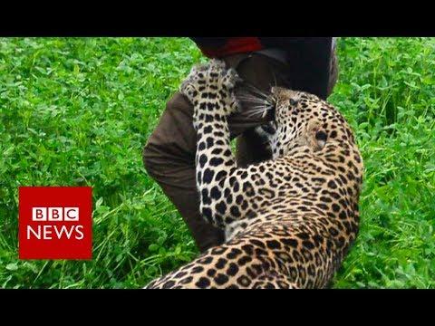 Xxx Mp4 Wild Leopard Attacks Indian Village BBC News 3gp Sex