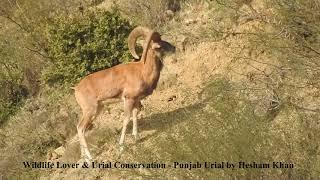 Punjab Urial by Hesham Usama Khan