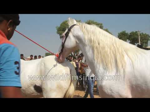 Xxx Mp4 Mating Stallion Prancing Horse Has A Procreative Rendezvous In Rajasthan 3gp Sex