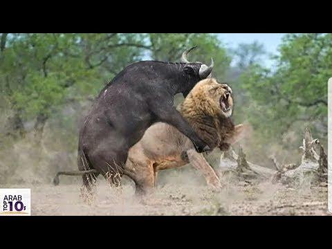 هذا هو اخطر جاموس في العالم اياك ان تقترب منه حتى الأسود تخاف منه