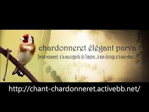 Chant Chardonneret d Algerie Souk Ahras
