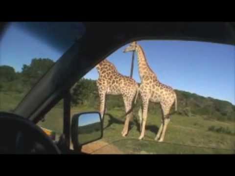 Giraffe Sex Safari!
