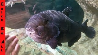UGLY FISH on Earth 45 Years Old ANCIENT!