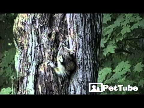 Xxx Mp4 Raccoon And His Tree House PetTube 3gp Sex