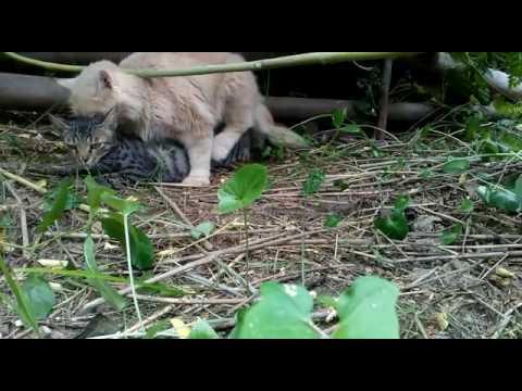 persian cat having sex with indian cat