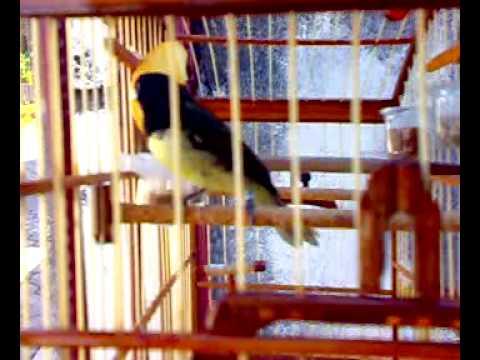Coleiro de Torneio Tricolor chamando femea solta pra gaiola