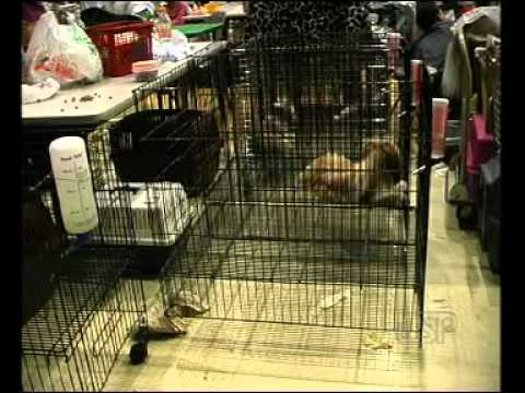 วิธีการเลี้ยงสุนัขพันธุ์ชิสุ