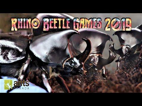 Meet The Rhino Beetle Gladiators Rhino Beetle Games 2019