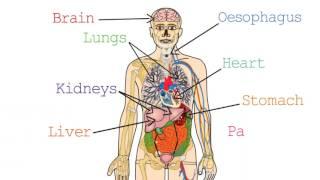 Edexcel Human Biology iGCSE: 1.5 Organs