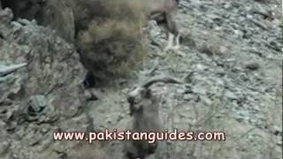 Kashmir Markhor Hunting Survey