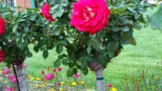 Rosei O'Donnel Tree Rose.mov
