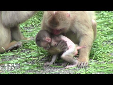 Mom baby monkey newborn is not released absolutely worry.