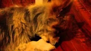 Dog licking paws