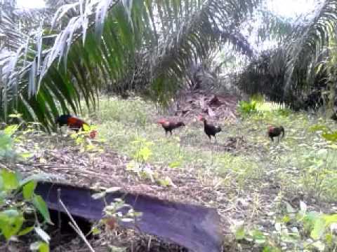 Mikat ayam hutan C KILAT