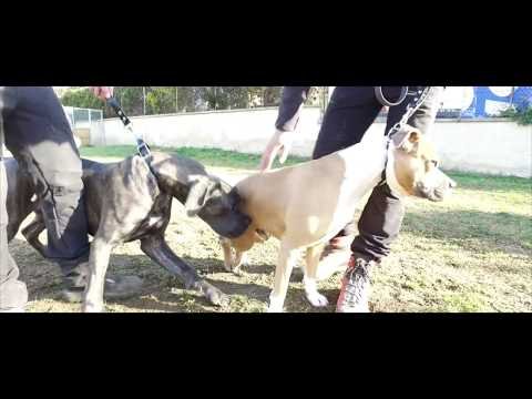AMERICAN STAFFORDSHIRE TERRIER AGRESSIVITE CONGENERES EDUCATION CANINE SYM DOG