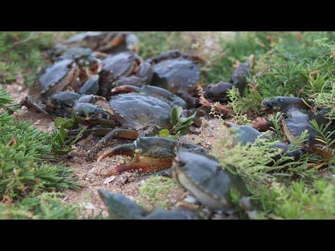 廢棄養殖場全是老螃蟹,2斤多一隻算小的,阿梅一個人抓� 抓不完【海村小梅】