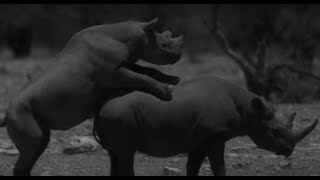 First Time Rhino Affection Caught On Film - Africa - BBC Earth