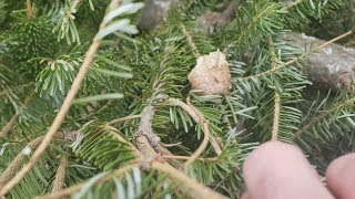 Over 100 Praying Mantises Hatched Out Of My Christmas Tree! (Praying Mantis Egg Case Hatches)
