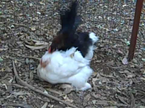 Xxx Mp4 Big Hen Little Rooster 3gp Sex