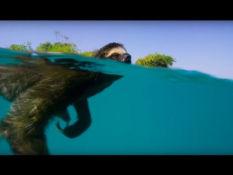Swimming Sloth Searches For Mate - Planet Earth II