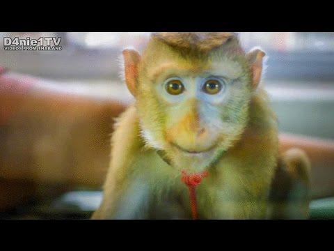 Monkey at Patong Massage Parlor Phuket Thailand