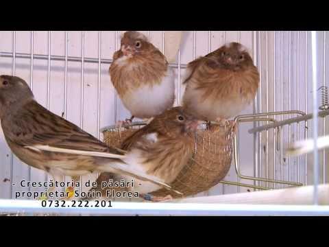Crescatoria de canari slavujari proprietar Sorin Florea