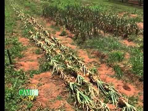 Recomendaciones para la post cosecha de cebollas.