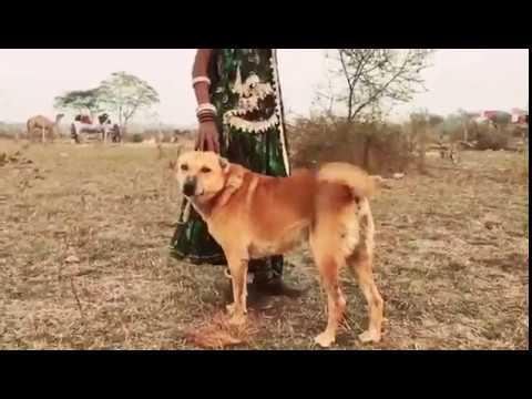 Xxx Mp4 Indian Desi Dog Marwari Dog With Marwari People S 3gp Sex