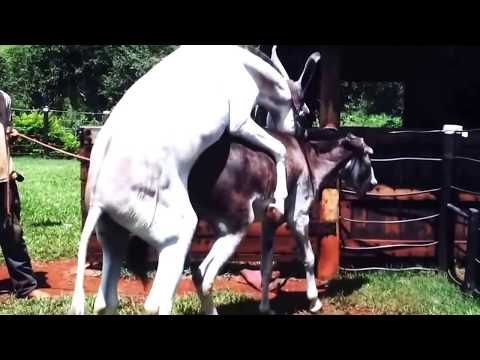 Horse Mating with Donkey Animals Mating Animals Sex