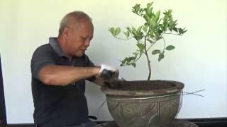 Bonsai Tutorials for Beginners: How to bonsai a Lemon tree from Nursery Stock.