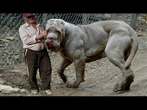 Xxx Mp4 Giant Dogs Of The World Part 1 3gp Sex