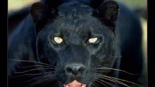 وثائقي مطاردة حيوان الجاكوار  ( HD FULL  )