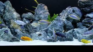 Labidochromis Hongi, Red top Hongi, Kimpuma