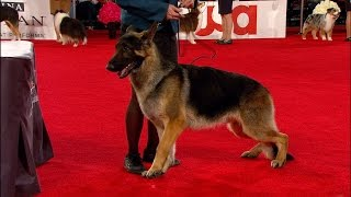 2017 Beverly Hills Dog Show: German Shepherd, Herding Group