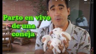 CONEJOS- El parto de una coneja (1ª parte). ¿Cómo paren las conejas?