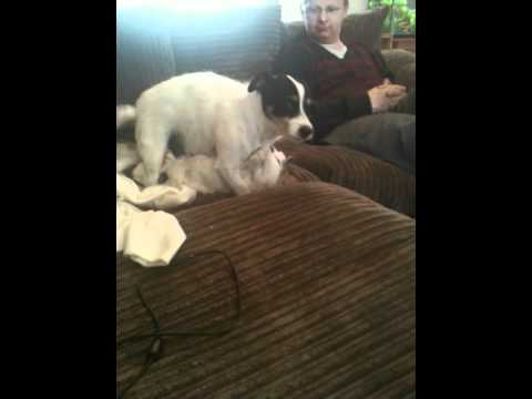 Dog Humps Cat - Funny Reaction By Dad - Rape - Very Funny - Animal