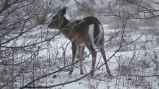 Deer in Deering NH. Who'da thought. 2013-0413