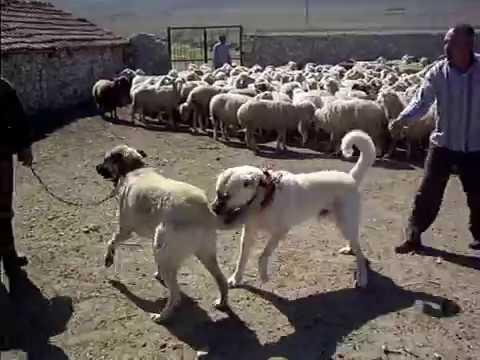 kangal çoban köpeği koyunlar